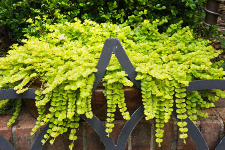 Creeping Jenny lysimachia aura trailing stem plant growing out of garden pots over a brick wall and onto a wrought iron patio chair. Stock Photo