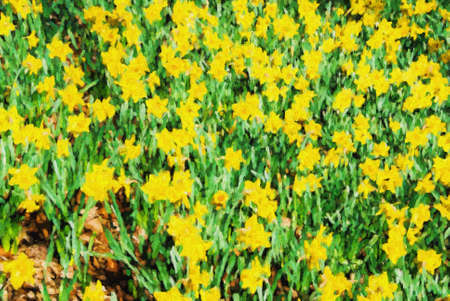 springtime: Yellow springtime daffodil flowers fill this garden with beautiful color. This is computer generated art from a photograph. Stock Photo