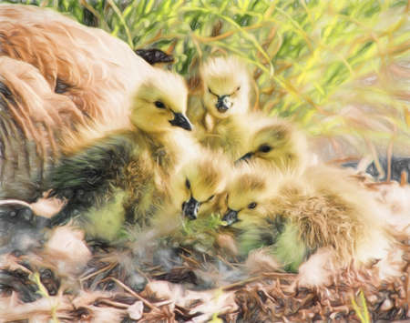 Newborn Canada geese goslings with their mother close by in the background. These geese are one day old. This is computer generated art from a photograph.