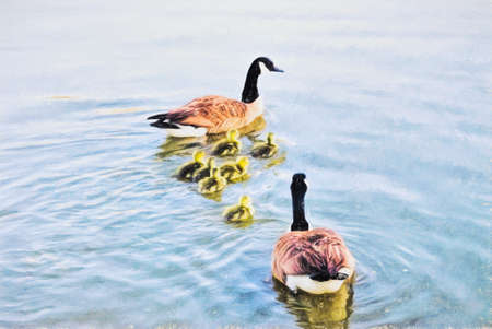 A family of Canada Geese are swimming together as a family for the first time. The goslings are two days old. This is computer generated art from a photograph. Stock Photo