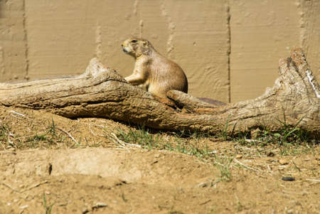 One black-tailed prairie dog is basking in the sunshine while he sits on a fallen tree. Selective focus on the prairie dog.