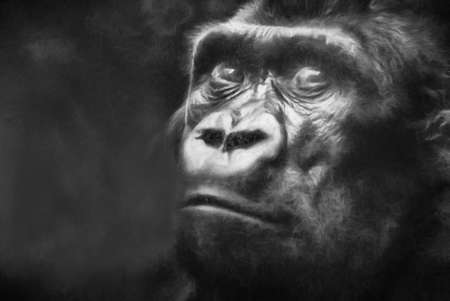 menacing: Gorilla in black and white charcoal textured effect. This is computer generated art from a photograph.