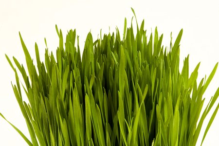 Wheat grass isolated in a bunch