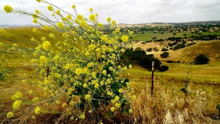 yellow mustard plant in bllom Stock Photo