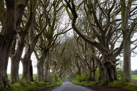 Beautiful and mysterious road with a lot of leafless trees crossing over each other in Ireland