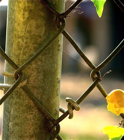 Pretty vine growing on chain link fence