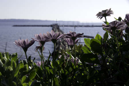 Purple Flower by the Ocean Stockfoto