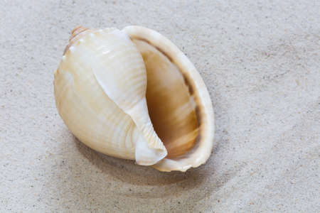 conch shell: A conch shell on the white sand Stock Photo