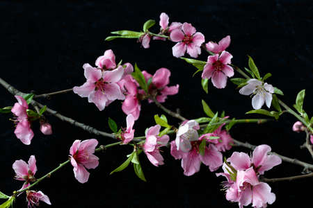 white blossom: Beautiful peach blossom isolated on black Stock Photo