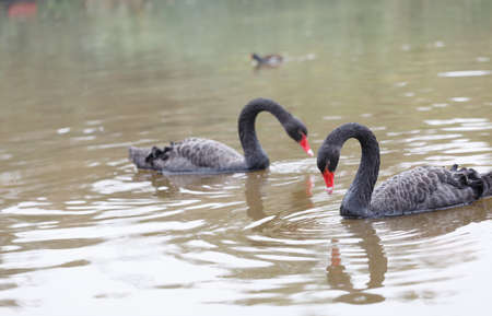 soulful: The black swan on the surface of the water