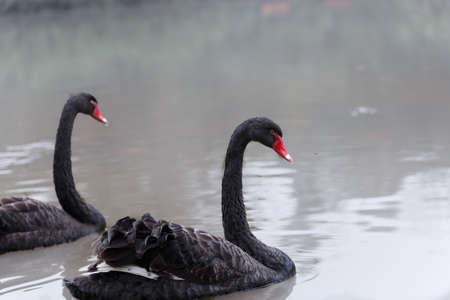 helpmate: The  black swan on the surface of the water