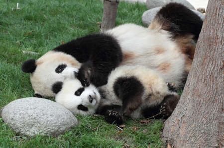 two pandas hugging each other