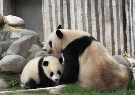 Two giant pandas playing together