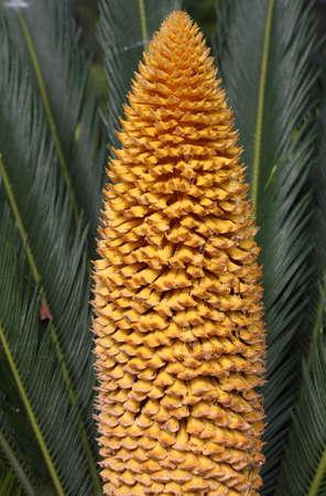 cycas: Sth flower