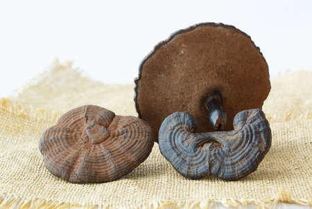 Rare Chinese traditional medicine ganoderma lucidum features