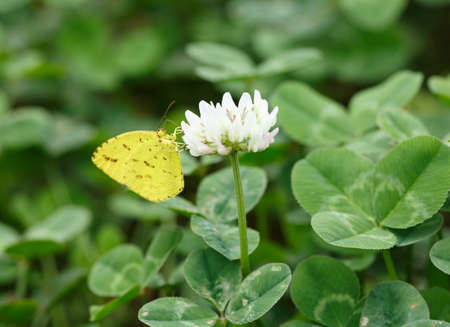 butterflies nectar: A yellow butterfly feeds on nectar Stock Photo