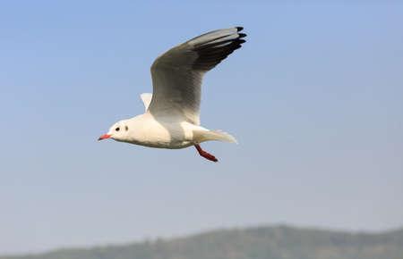 black-headed Gull flying in the sky Stock Photo