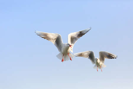 Two black-headed Gull are   flying in the sky Stock Photo