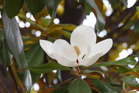 A magnolia white flower in full bloom