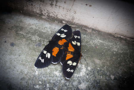 Two colored butterflies that are mating