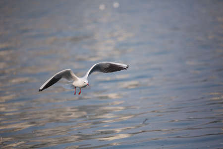 A seagull flying above the lake Stock Photo