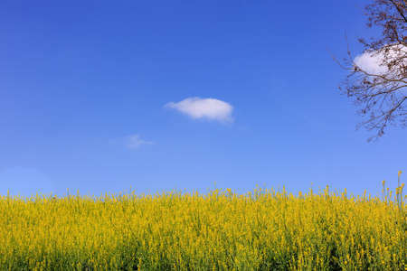 cole flowers  field under the blue sky and white clouds