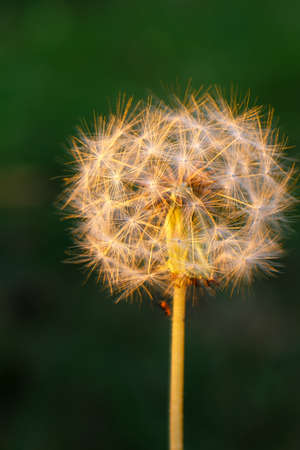 Closeup of a dandelion on  green background