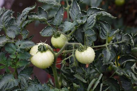 Green tomatoes growing in fields
