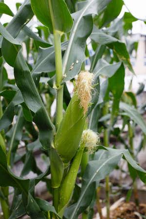 Green corn  growing in fields Imagens