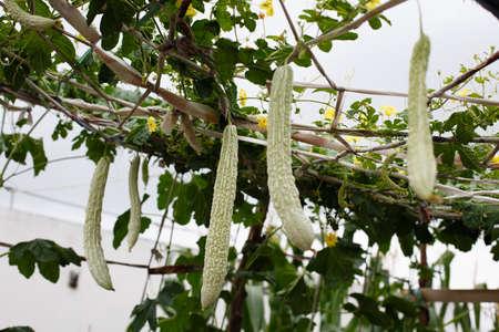 Balsam pear growing in farmland