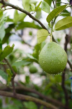 Green teak trees after rain