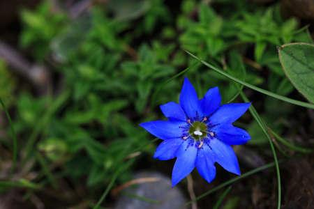 Blue gentian flowers bloom in alpine meadow Imagens