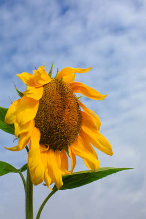Close - up of a sunflower under the blue sky