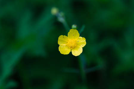 A yellow wild flower is blooming in the green earth.