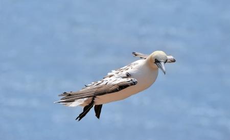 helgoland: Sea gull at Helgoland Iland Germany