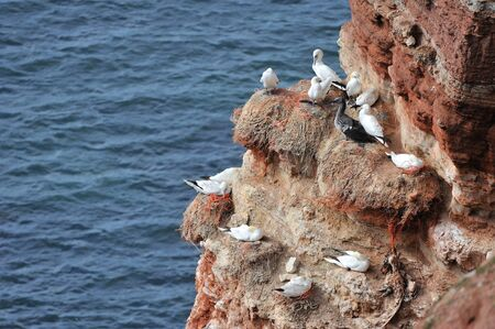 helgoland: Seagulls at red cliff of Island Helgoland Germany
