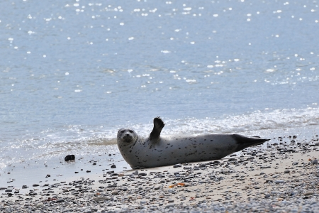 helgoland: Seal at Helgoland Island Germany