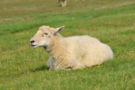堤防の北海海岸ドイツ羊