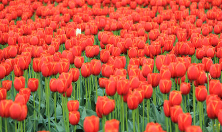 ones: One white tulip in a bed of red ones. Stock Photo