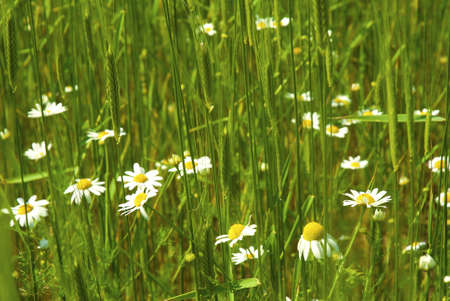 daisies in green wheat field photo