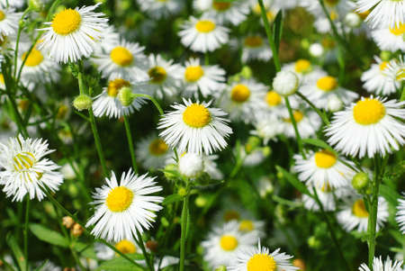 beuty chamomile field at summer photo