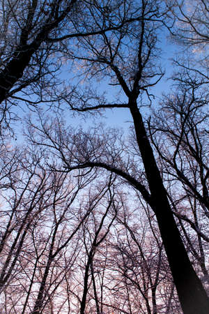 Early morning sunrise looking up at fresh snow covered trees in the woods