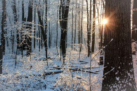 Early morning sunrise of a fresh snow covered forest with sun peeking behind a tree