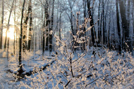 Early morning sunrise of a fresh snow covered woods