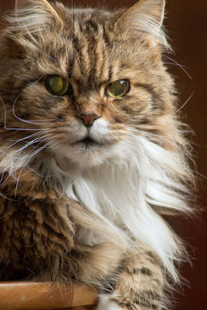 occhi sbarrati: primo piano di un tabby Maine Coon testa di gatto faccia con grandi occhi verdi spalancati Archivio Fotografico