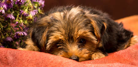 bashful: a shy puppy yorkshire is lying down in bashful attitude on a brown backdrop with some purple flower in the back