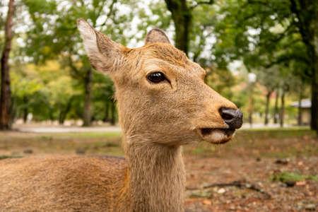 Brown deer's head close-up in Nara Park. Nara, Japan, portrait view.