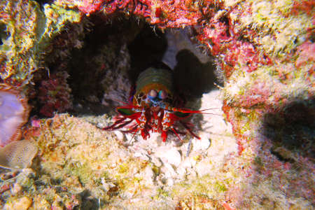 Colorful Mantis shrimp (or stomatopods, Stomatopoda), hidden in a small cave on coral reef. Amazing marine crustacean, with red body and eyes on mobile stalks. Pemba Island, Indian Ocean, Tanzania.