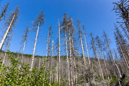Windfall, withered spruce forest after the European spruce bark beetle attack, dry dead tree trunks and stumps with white bark, blue sky background, Tatra Mountains, Poland.