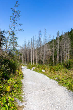 Mountain trail in coniferous forest in Tatra National Park leading to Giewont Mount, dry tree trunks damaged by spruce bark beetle attack.